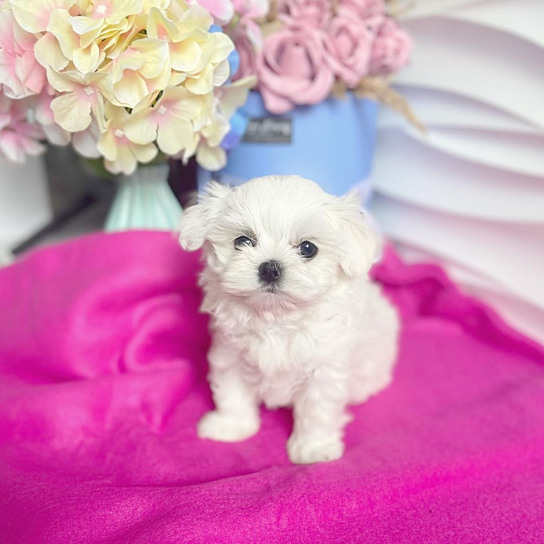 toy maltese puppies for sale near me